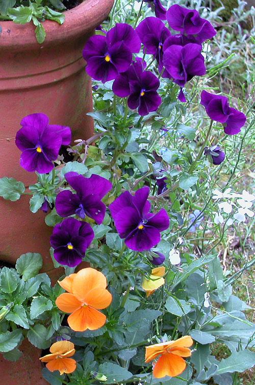 bungay-violas