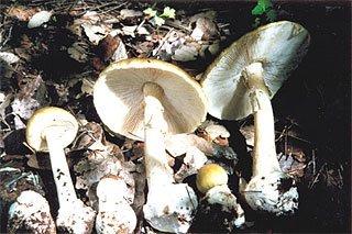 Death cap (Amanita phalloides)