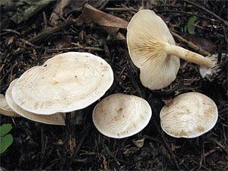 False fairy ring (Clitocybe rivulosa)