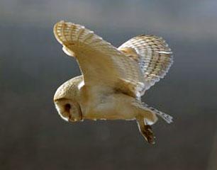Barn Owl - Waveney Wildlife