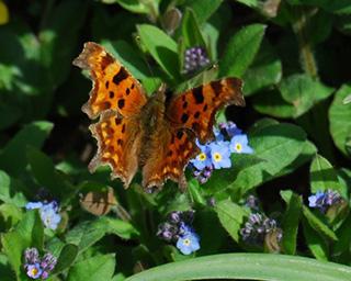 Comma-butterfly4-560x448