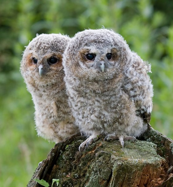 Owl-babies-at-Suffolk-Owl-Sanctuary