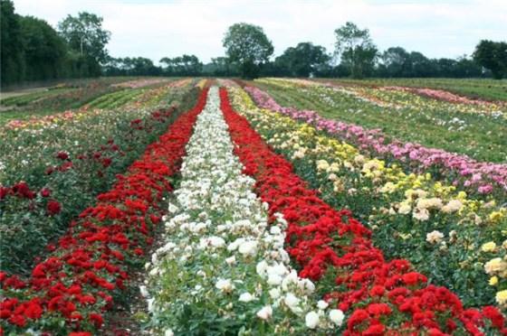 Whartons Rose Fields