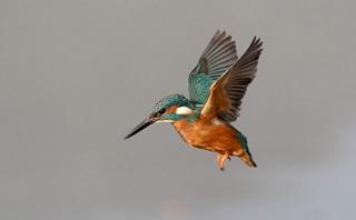 3_kingfisher