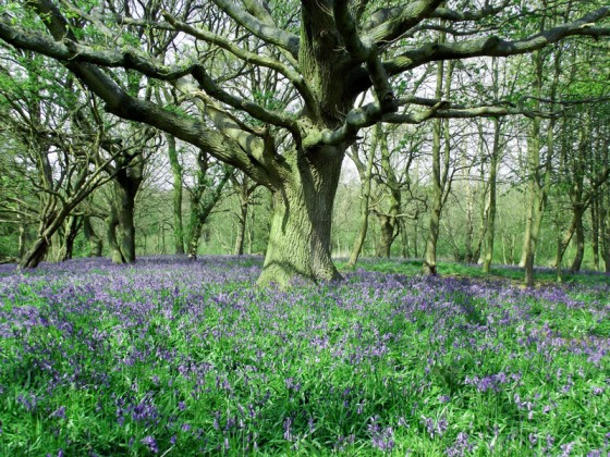 bluebell woodland