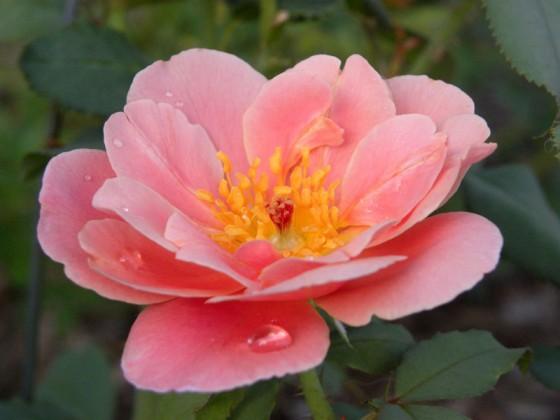 Picnic july-roses