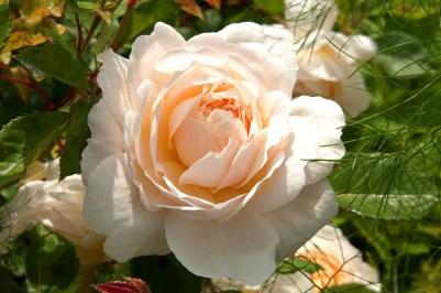 Raveningham Gardens Rose Week