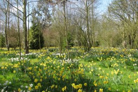 Waveney Daffodil Walk