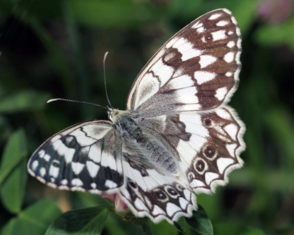 Balkan Butterflies