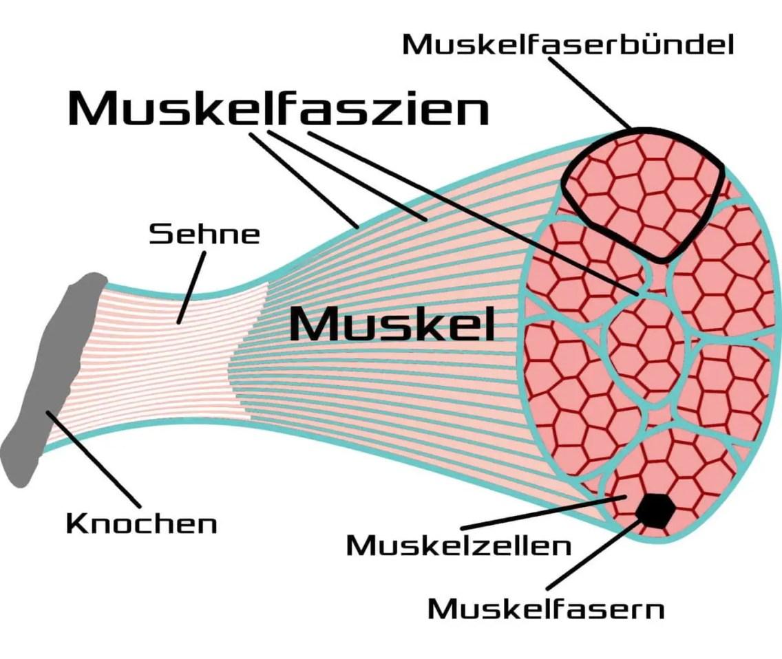 Muskelfaszien