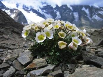 Der Gletscherhahnenfuss (Ranunculus glacialis) ist eine typische hochalpine Pflanze, die in den meisten Gebirgsregionen Europas vorkommt. Bild: SLF/Cajsa Nilsson