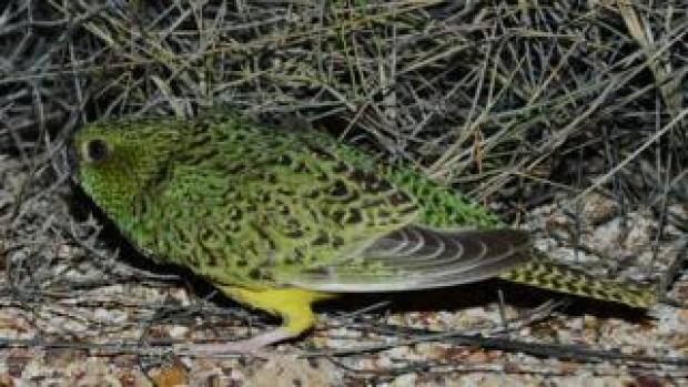 A night parrot discovered in Queensland