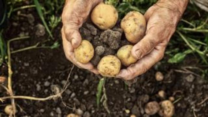 Potatoes dug up from the ground
