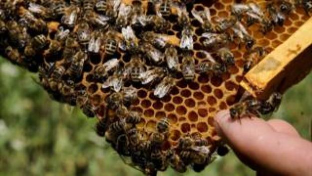 Bees on honeycomb, file pic