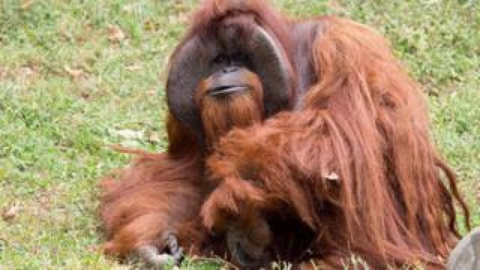 Zoo Atlanta photo shows Chantek the orangutan in Atlanta, Georgia