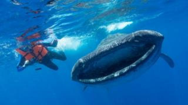 Whale shark in Isla Mujeres Mexico