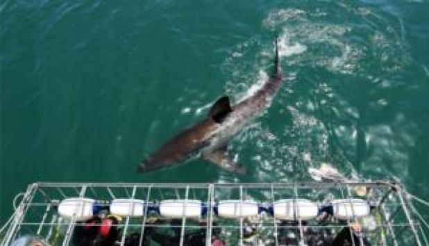 Tourists get up close to a Great White Shark as it swims past the cage in 2009 in Gansbaai, South Africa