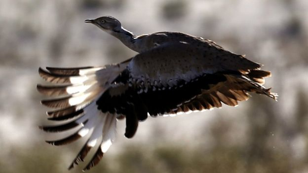 A houbara bustard flying, 9 December 2014