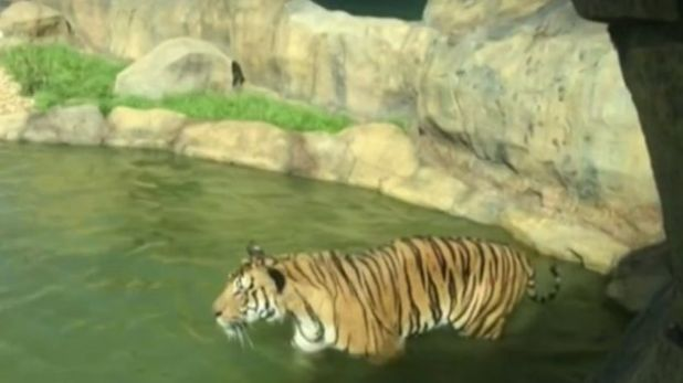 A tiger at the zoo (Sept 2016)