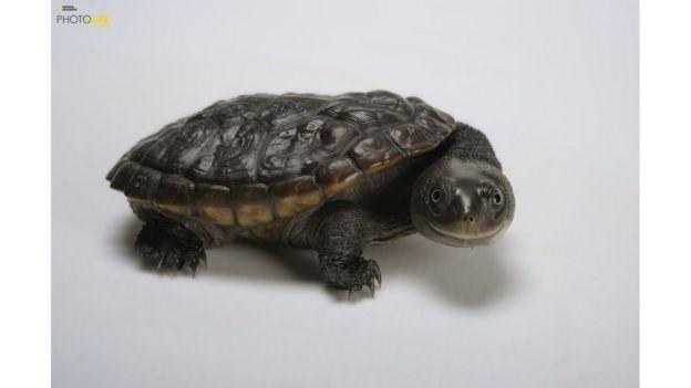 Una tortuga chelodina