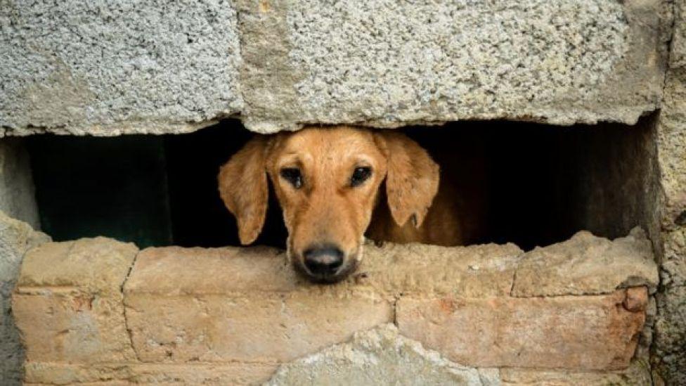 Perro de Bangalore