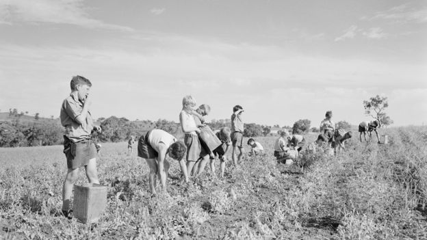 Child migrants picking peas at the Fairbridge Farm School in the 1950s
