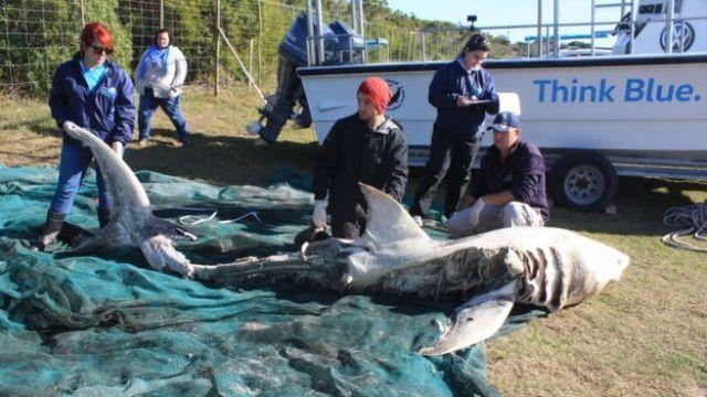 Ataques de orca a tubarões não são incomuns, mas enfrentamentos com o tubarão-branco supreenderam especialistas