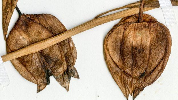 Especímenes de frutos secos de una cereza de tierra costera moderna de Florida