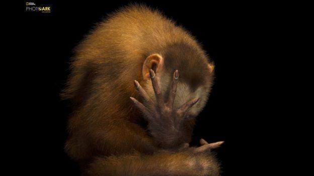 Un capuchino de frente blanca