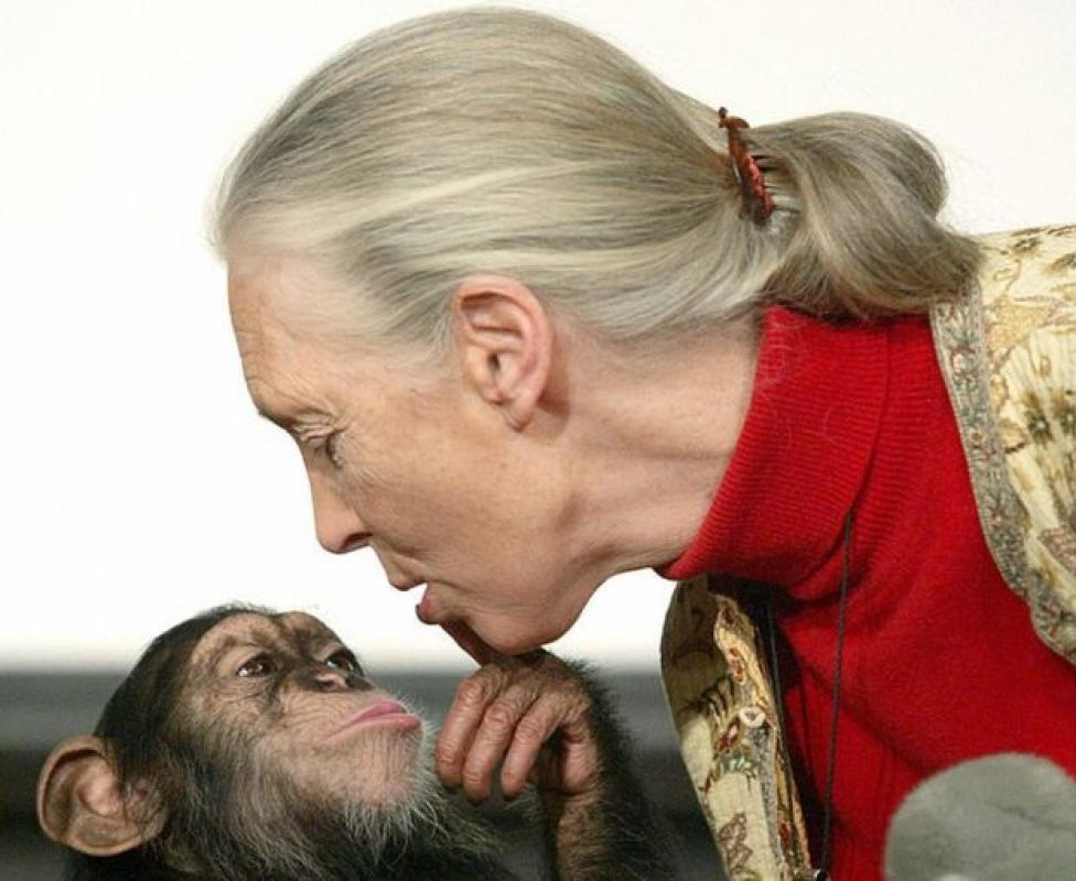 British primatologist Jane Goodall, the world's famous authority on chimpanzees, kissed by Pola, a young chimpanzee, during a press conference at Budapest Zoo