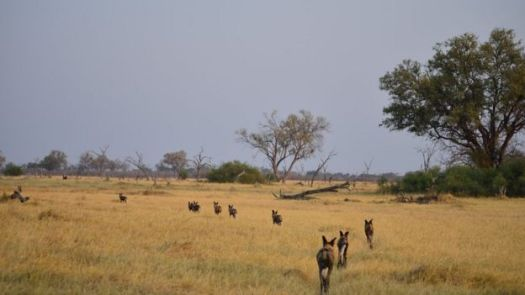 Cachorros selvagens caminham em matilha em área de savana