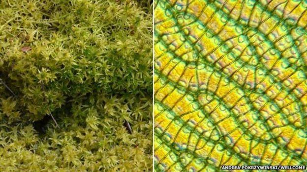 Estrutura celular do musgo de esfagno