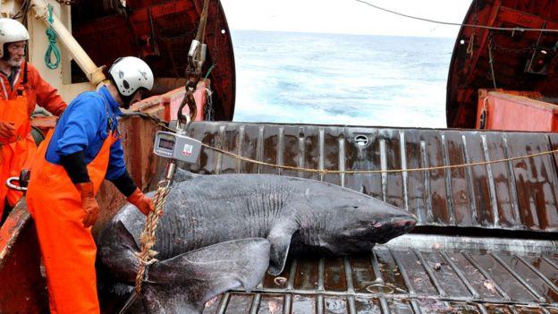 Tiburón cazado