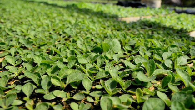 Plantação