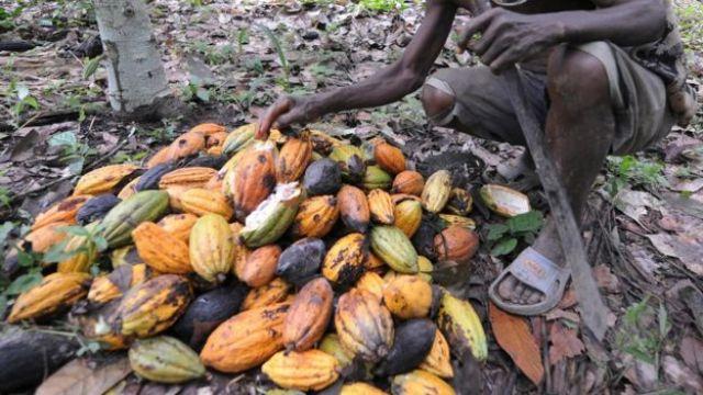 Un trabajador recolecta las vainas de cacao.
