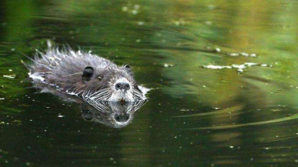 Beaver in Germany