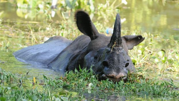 A one-horned rhino swimming.