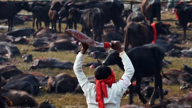 Man kills cattle at the Gadhimai festival in Bariyapur on (November 2014)