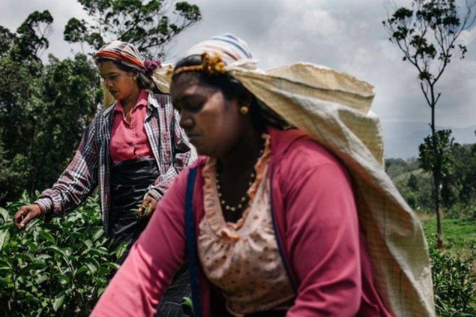 عاملات يجمعن الشاي