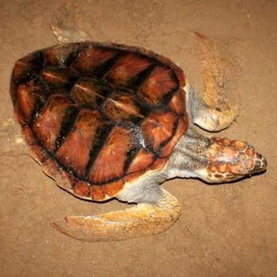 ඔළුගෙඩි කැස්බෑවා - Loggerhead turtle (Carettacaretta)
