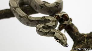 Boa constrictora