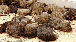 Fumigar ratas, ratones en el sur de tenerife
