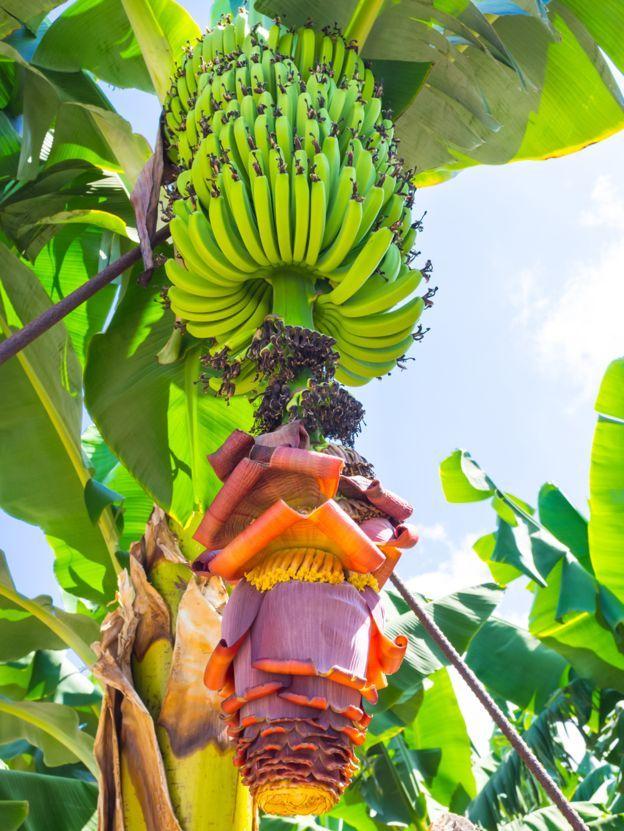 Planta de la banana