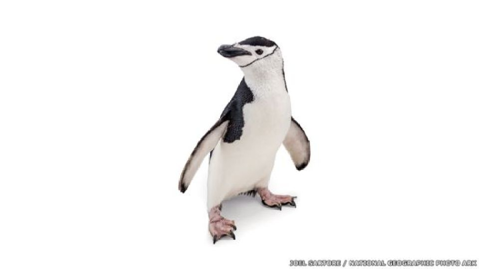 Pinguino barbijo - Acuario de Newport, Kentucky, Joel Sartore / National Geographic