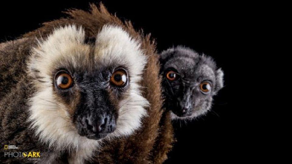 Lémur cabeza blanca - NAPLES ZOO, FLORIDA Joel Sartore / National Geographic