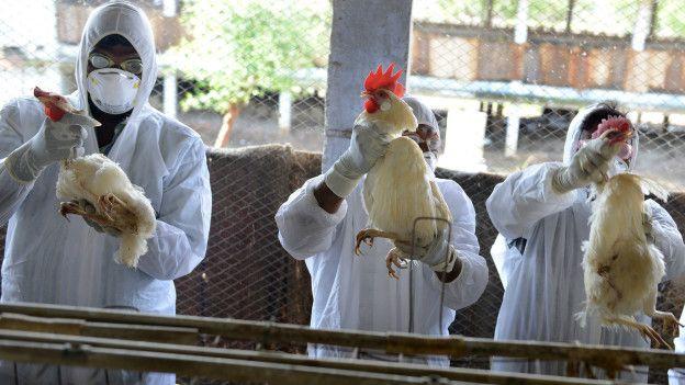 Trabajadores sanitarios revisan unas aves en un corral.
