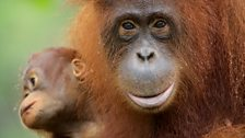 Orangutans are capable of having mental maps and calendars of the forest