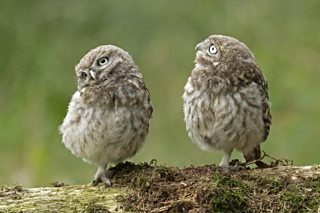 Bbc Blogs Springwatch What Do Owls Eat
