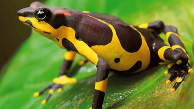 Saving one of the world's rarest toads from extinction #world #BBC_News