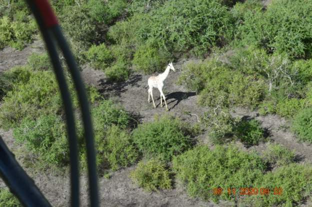 World's only white giraffe' fitted with tracking device – Dateline Nigeria